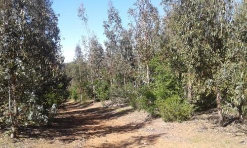 13,4 ha con Eucaliptus